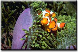 anemoneandclownfish